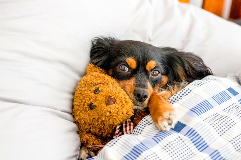 Small dog in bed cuddling a cute brown teddy bear. Small dog lying on a bed cuddling a cute teddy bear stock photography