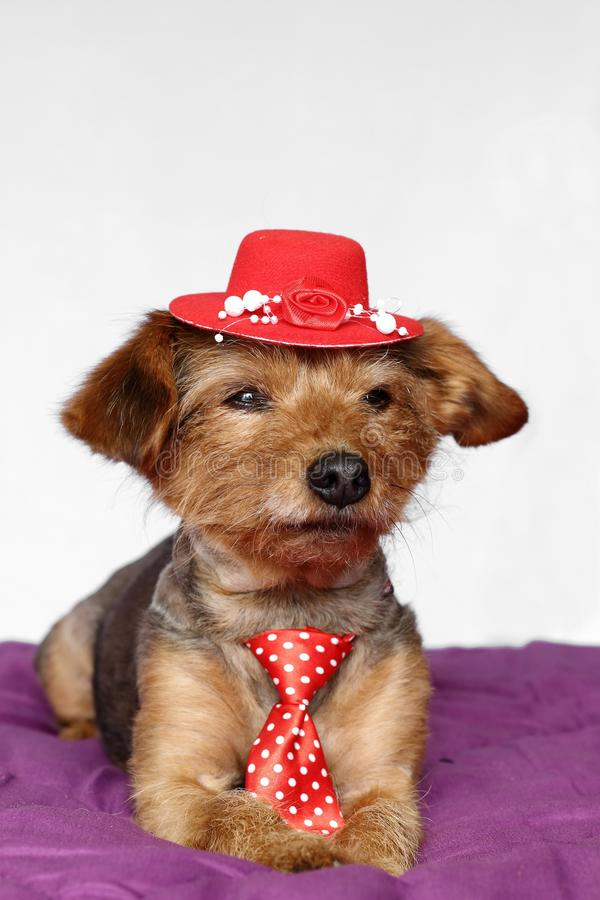 Small dog in a lying position dressed in red tie and red hat stock photos