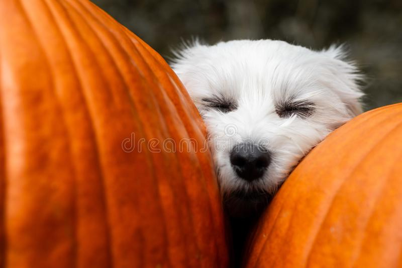 Small dog napping between two pumpkins. Small white dog napping with head between two big pumpkins stock photo