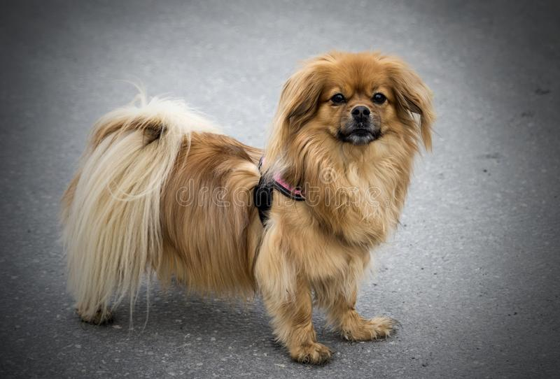 Small dog with ocker fur photographed with tarmac background. A small dog with ocker colored fur is photographed at the tarmac. Vignette is added to the picture royalty free stock images
