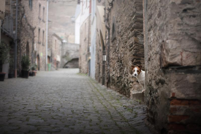Small dog in the old town. A pet in the city. A small dog in the old town. A pet in the city. Jack Russell Terrier stock image