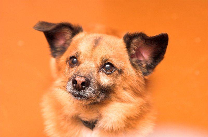 Small dog on orange background. Interested dog face royalty free stock images