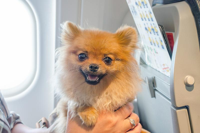 Small dog pomaranian spitz in a travel bag on board of plane, selective focus stock photo