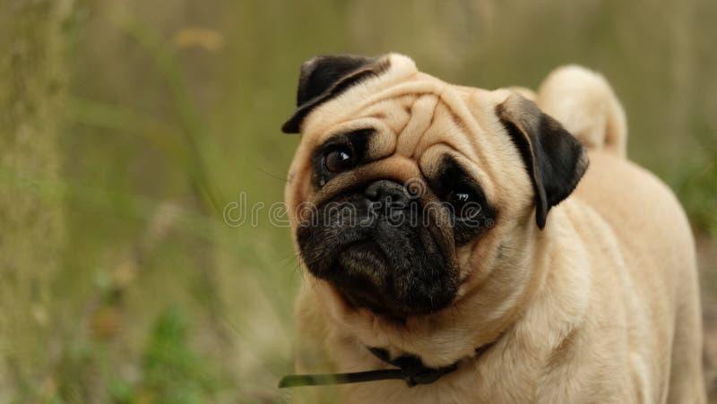 A small dog pug Konfuciy looking into the camera. stock photo