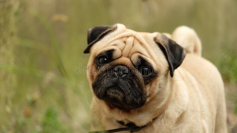 A small dog pug Konfuciy looking into the camera. royalty free stock photos