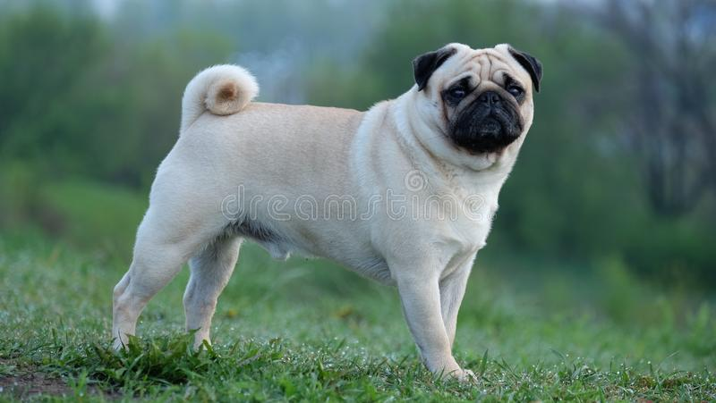 A small dog pug Konfuciy stands on the grass on a green background. royalty free stock photography