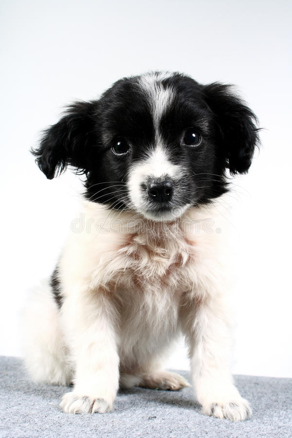 Free Small Dog Puppy. Stock Images - 11217544