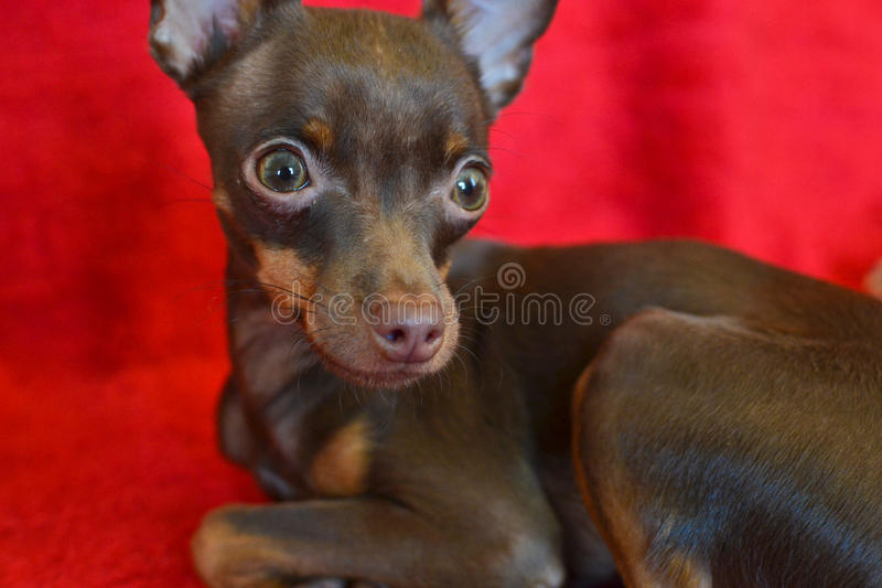 Small dog russian toi-terrier royalty free stock image