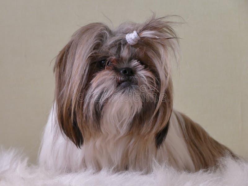 Small dog on sheepskin royalty free stock photography