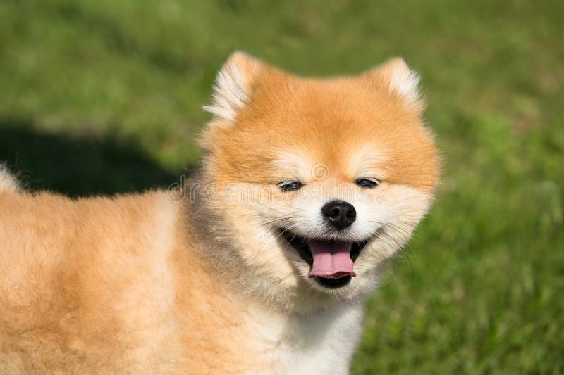 Small dog spitz color fox with a hair like the fluff stock image