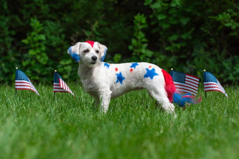 Small dog standing with flags. Small colorful dog standing outside with american flags in background royalty free stock images