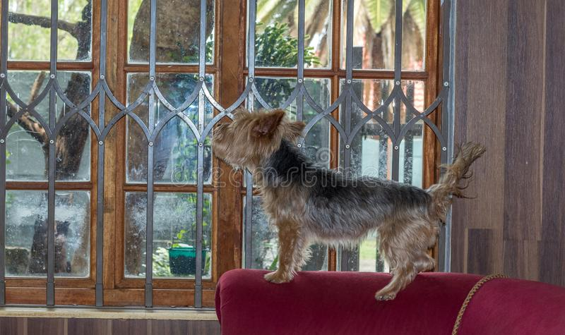 Small dog looking through the window of a home royalty free stock image