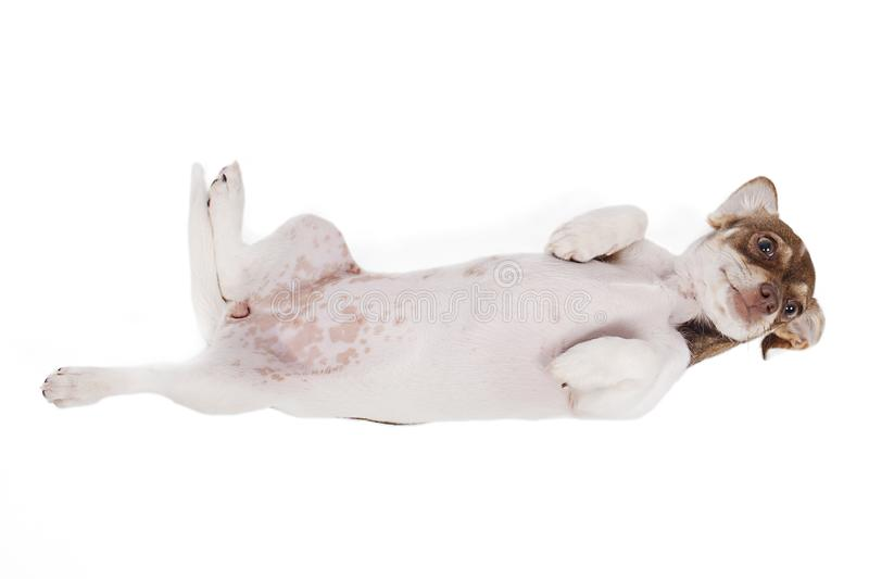 Small Dog In Submission, Rolled Over Its Back. Small dog in a submission position, rolled over its back, isolated on white royalty free stock image