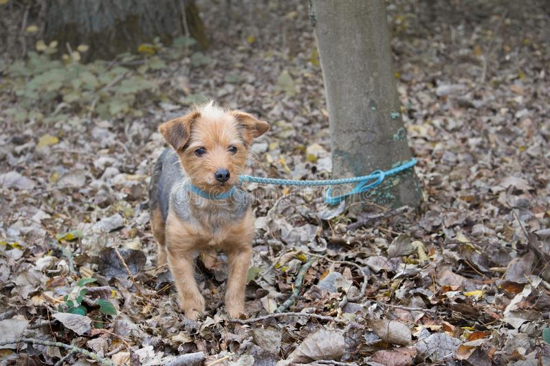 Small dog tied to a tree alone and abandoned in the forest. A small dog tied to a tree alone and abandoned in the forest royalty free stock photo