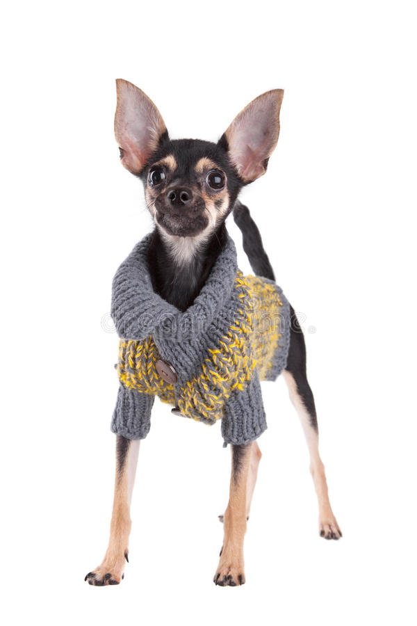 Free Small Dog Toy Terrier In Clothes Royalty Free Stock Photo - 16523475