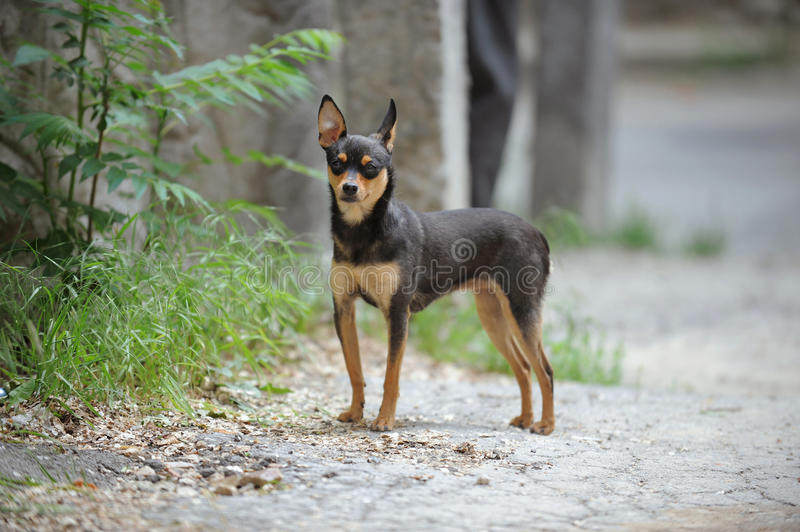 Download Small Dog stock image. Image of adorable, nature, domestic - 30498189