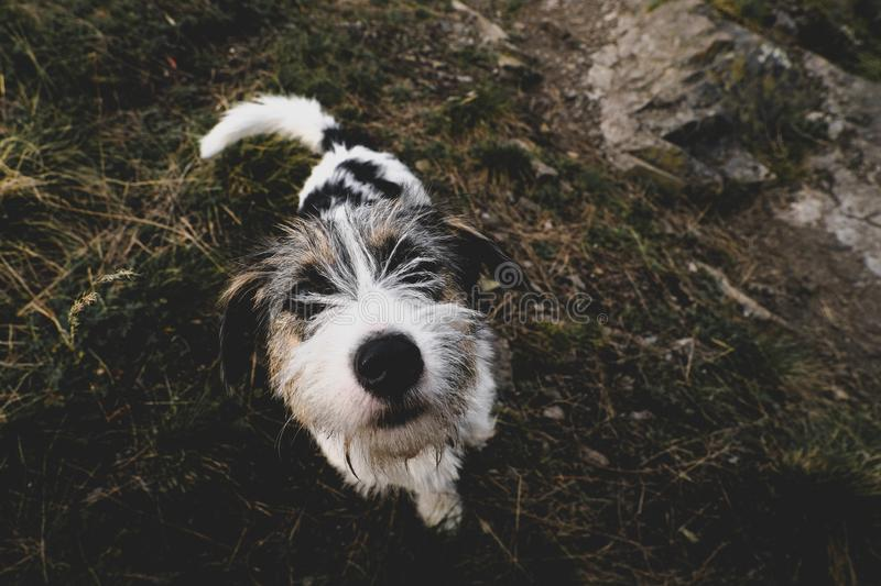 Small dog walking friendly looking in the camera lens stock images