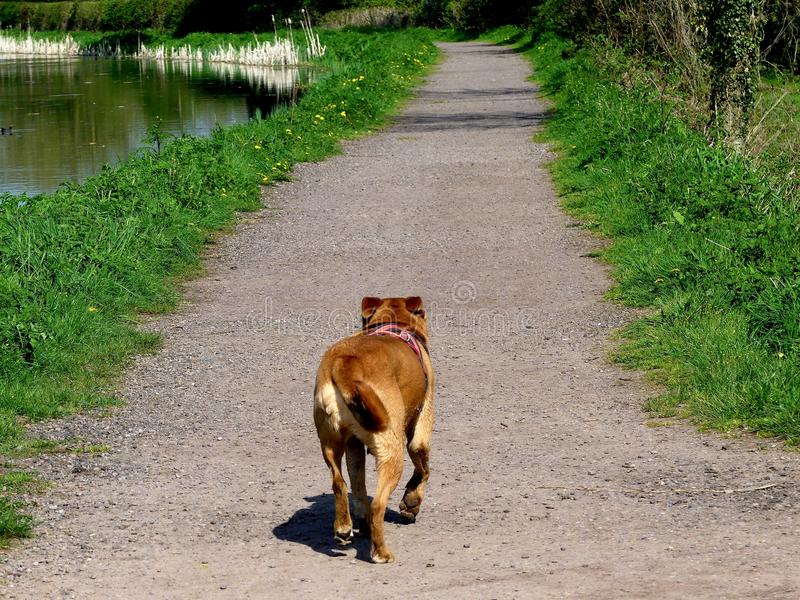 Small dog walking up a canal path in Devon, England stock image