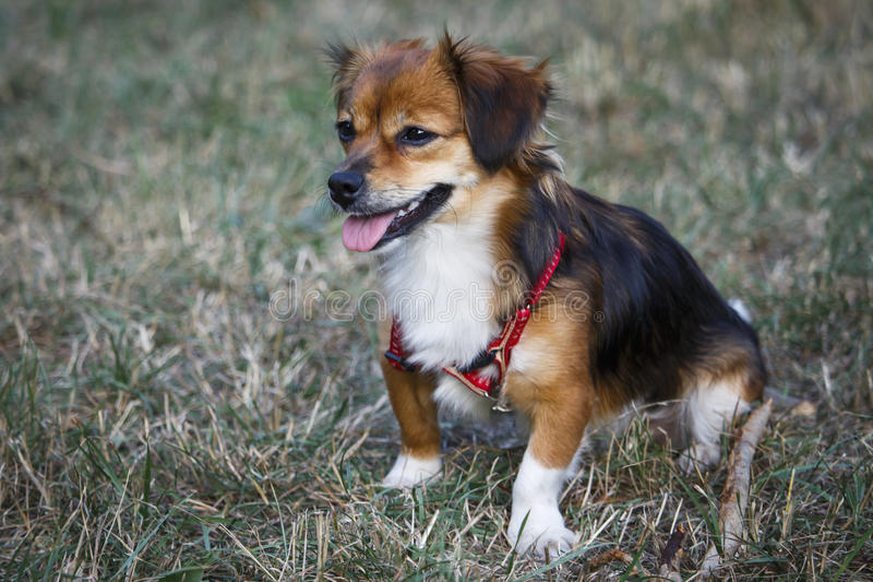 A small dog walks in the clearing. A small red dog walks in the clearing royalty free stock image