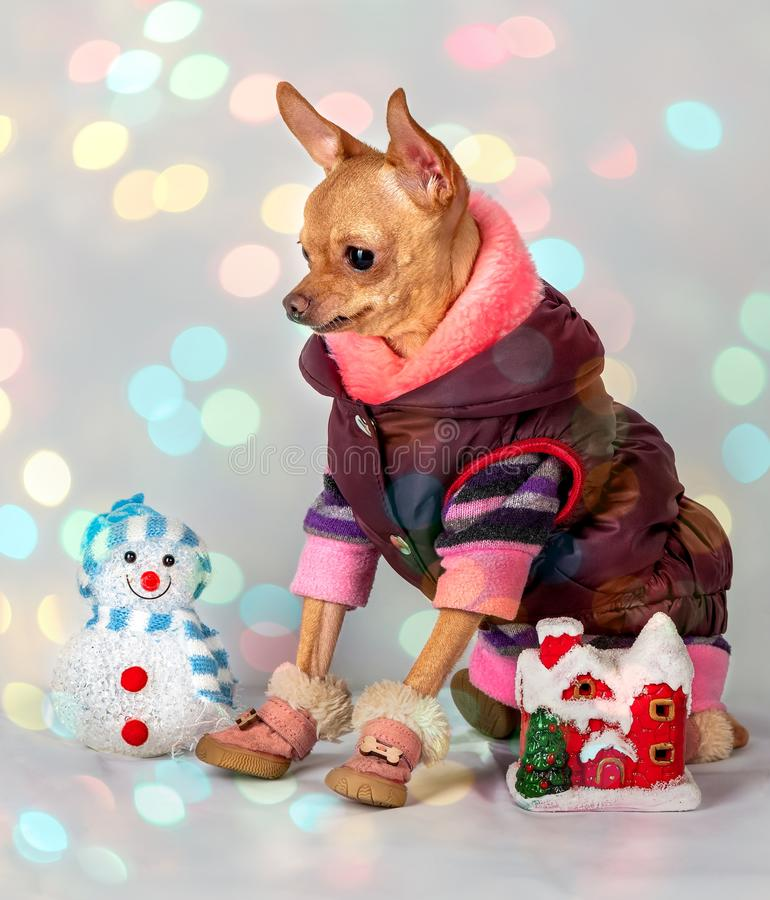 Small dog in warm clothes stock images