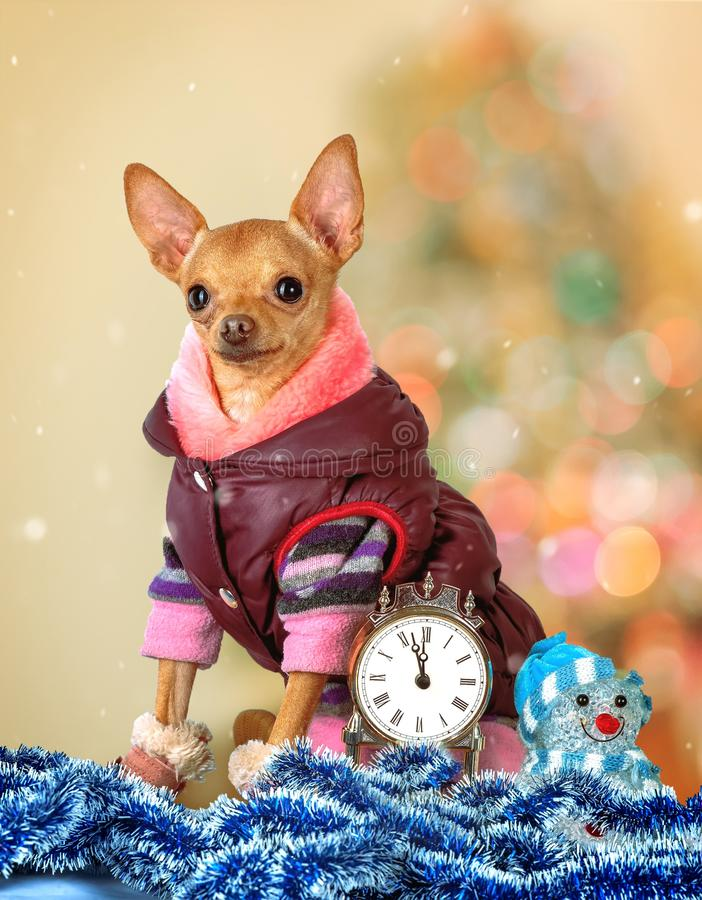A small dog in warm clothes with a watch stock photos