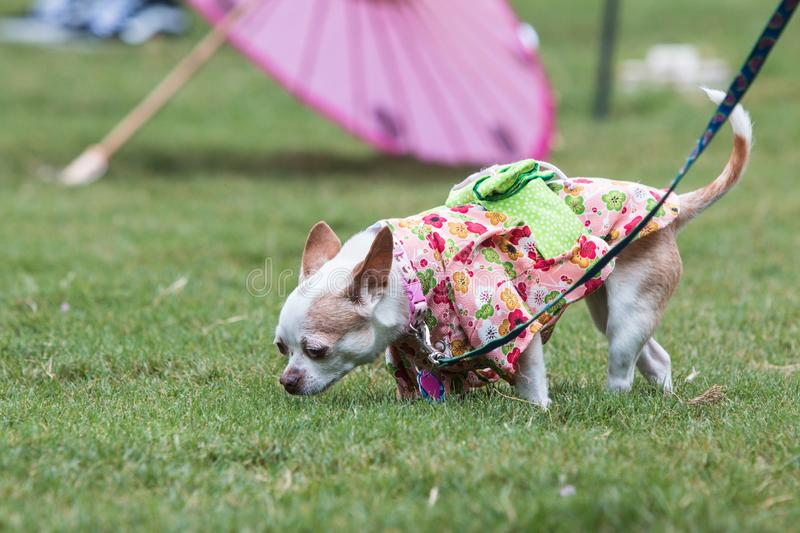 Small Dog Wears Kimono Costume As Participant In Doggy Con. Atlanta, GA, USA - August 18, 2018: A small dog wearing a kimono sniffs the grass at the conclusion royalty free stock photography