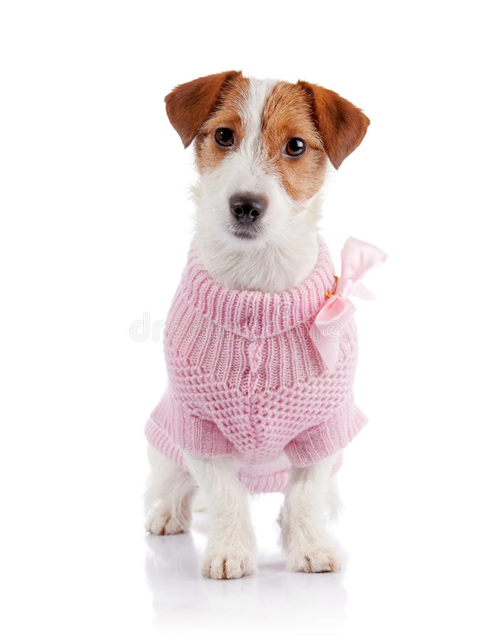 Small doggie of breed a Jack Russell Terrier in a pink jumper. Sits on a white background stock photos
