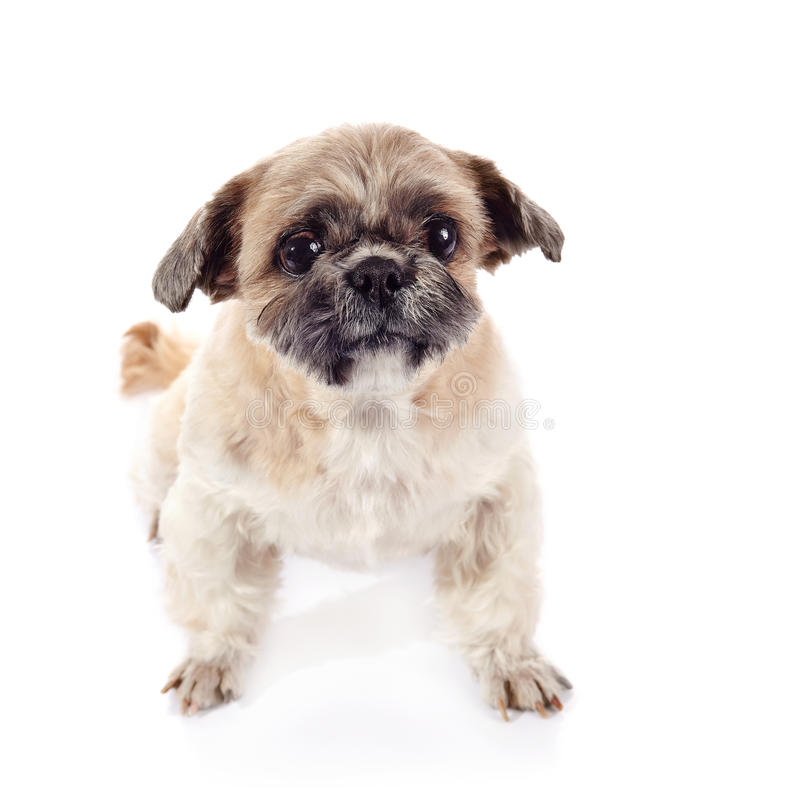 Small doggie of breed of a shih-tzu. Small beige doggie of breed of a shih-tzu royalty free stock photos