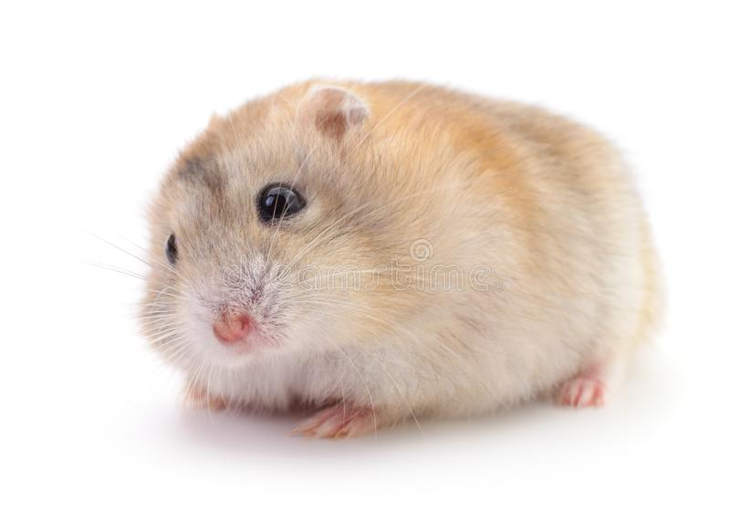 Small domestic hamster stock images