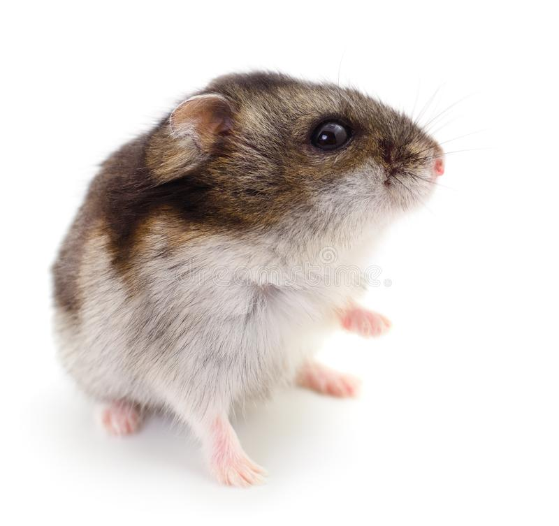 Small domestic hamster royalty free stock photos