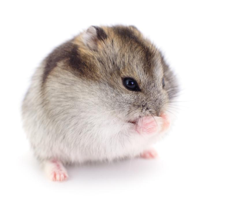Small domestic hamster royalty free stock images