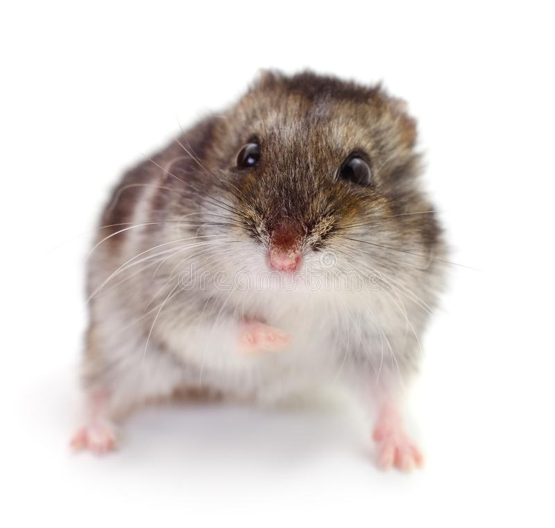 Small domestic hamster. Isolated on white background royalty free stock photos