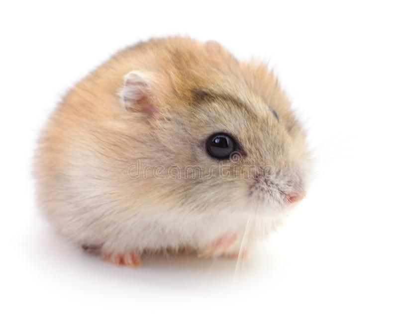 Small domestic hamster stock photos