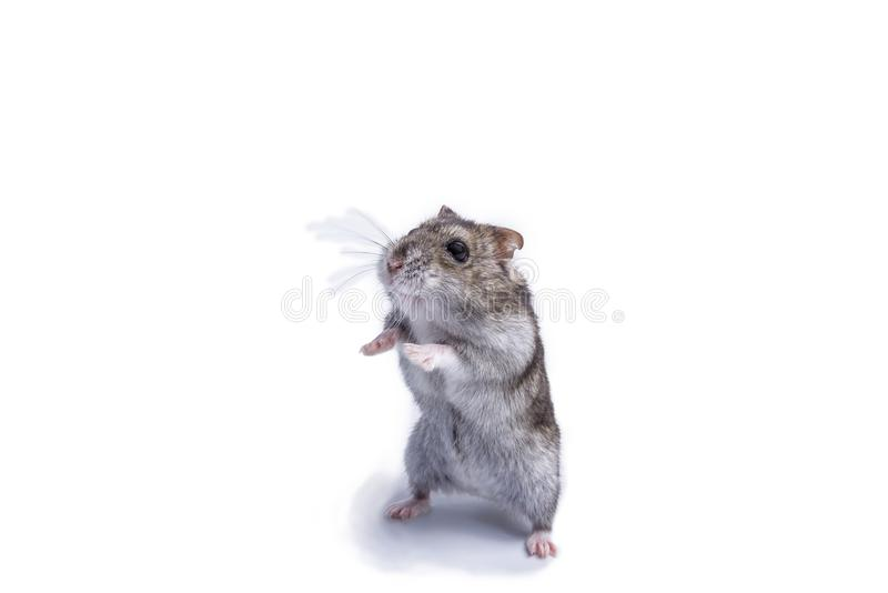 Small domestic hamster isolated on white background. royalty free stock images