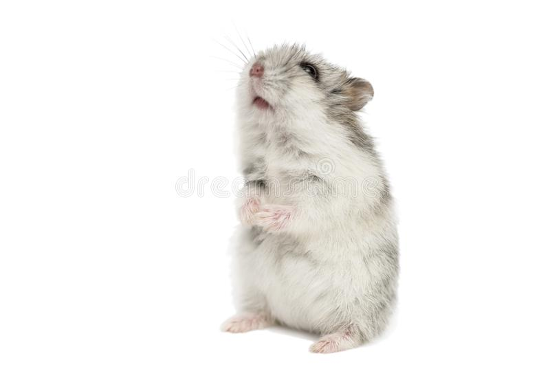 Small domestic hamster isolated on white background. Gray Syrian hamster stands on his hind legs isolated on a white background stock photos