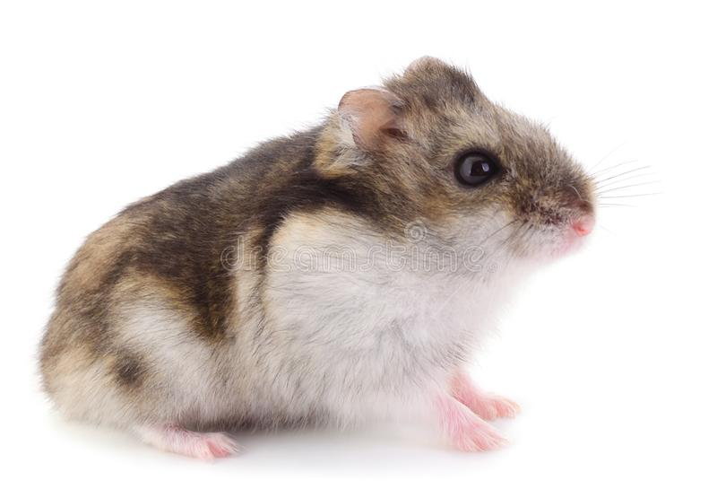 Small domestic hamster. stock images