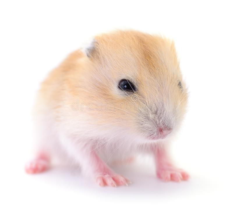 Small domestic hamster royalty free stock photography