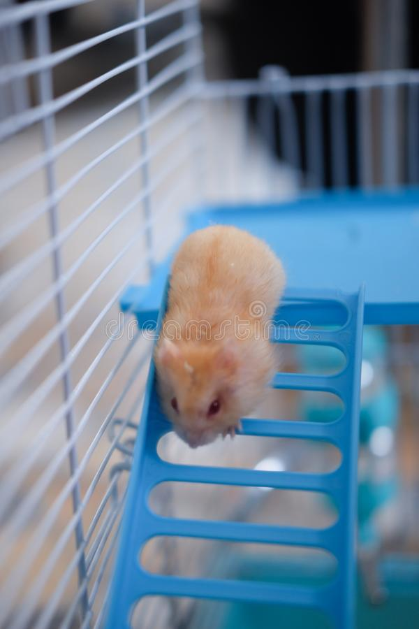 Small domestic hamster stock photo