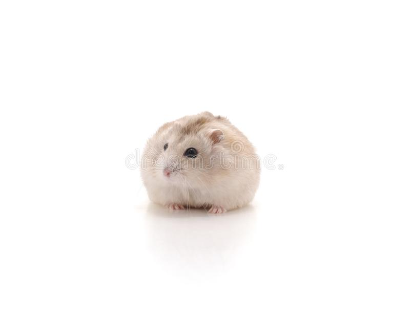 Small domestic hamster. royalty free stock photography