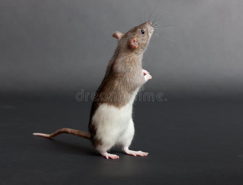 Download Small domestic rat stock photo. Image of curiosity, macro - 26519138