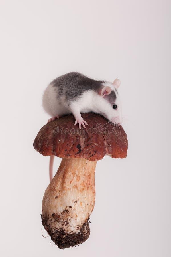Small domestic rat. On a mushroom cap royalty free stock image