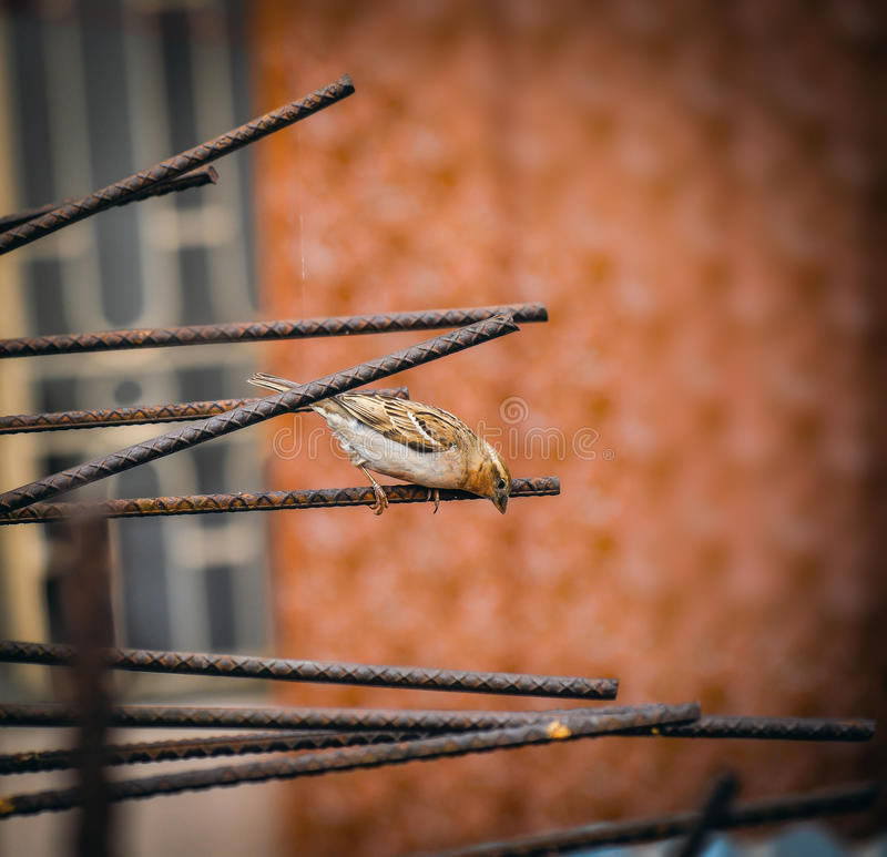 Small Domestic Sparrow stock images