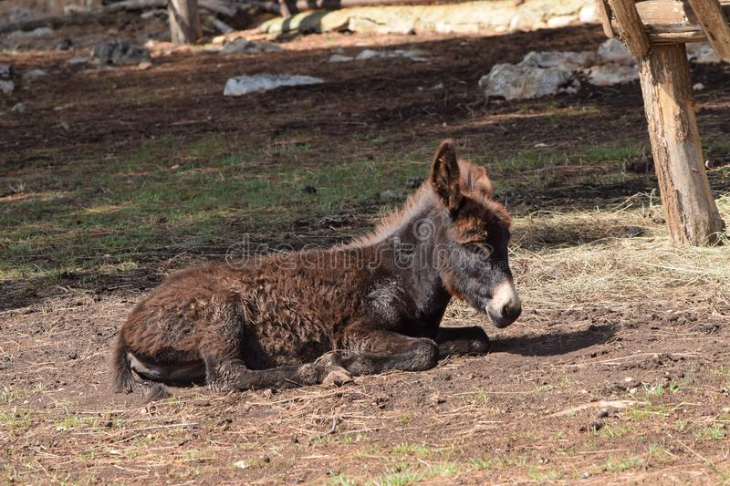 Small Donkey Foal stock images