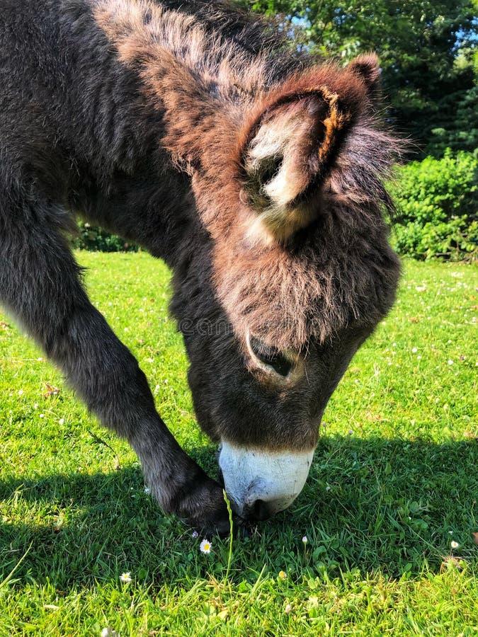 Small donkey stock image