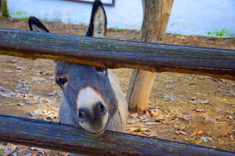 Small donkey`s face, wooden fence in the zoo stock photos