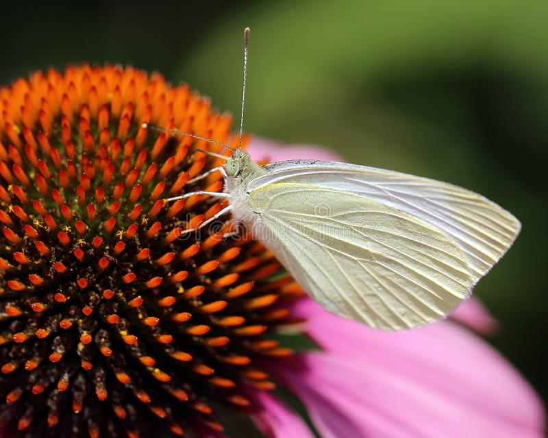 Small Dove Gray Butterfly in Echinacea Plants stock photos
