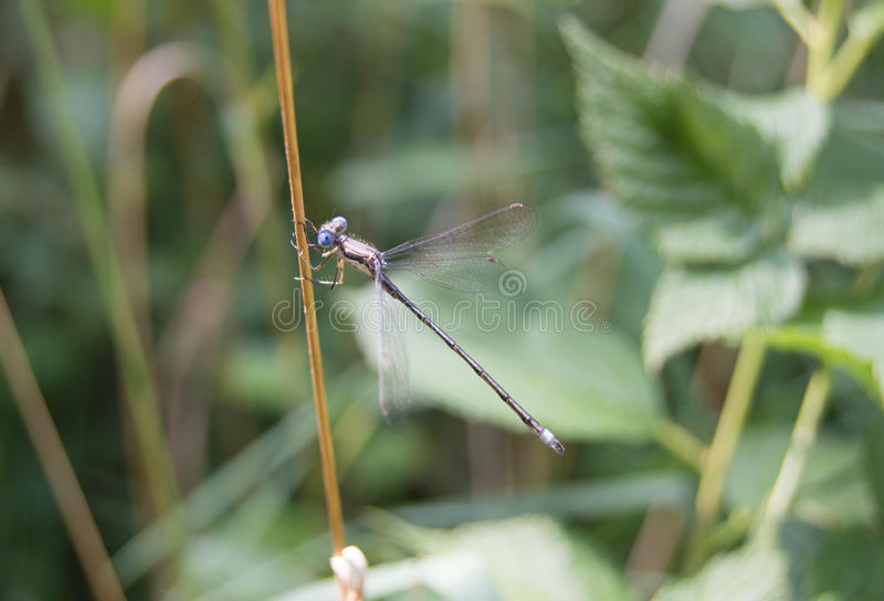 Small Dragon Fly royalty free stock images