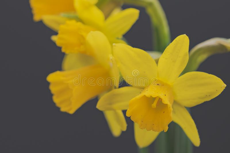 Low-contrast image of a bunch of freshly picked springtime daffodils. royalty free stock photo