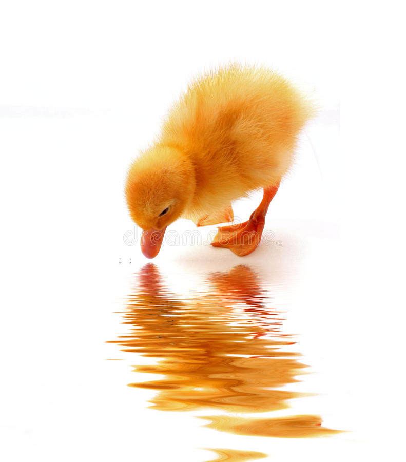 Small duck and water reflection stock photos