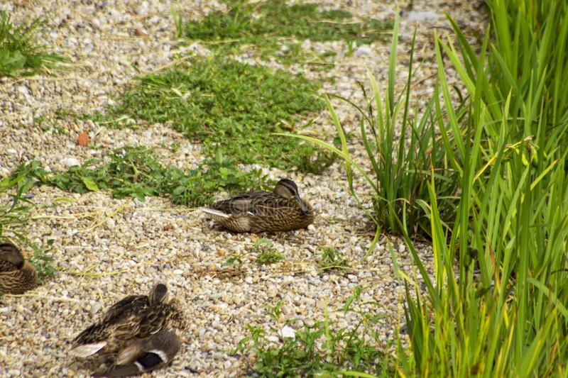 Small ducks sleeping on a gravel beach royalty free stock image